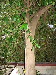Healthfuze Graviola tea,Soursop Leaves tea Guanabana,Guyabano Leaves,bark,stem.Most Potent Graviola Blend.8 oz.