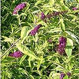 Buddleia Santana in a 9cm Pot - Buddleja Butterfly Bush - Variegated Buddleia Shrub Plant