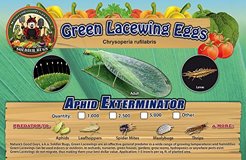 green-lacewing-5000-eggs-good-bugs-aphid-exterminator