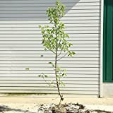 庭木:ネグンドカエデ(フラミンゴ) H:約120cm