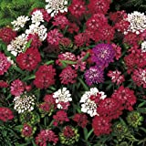 Suttons Seeds 143607 Candytuft Fantasia Mix Seed