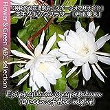 【人気の多肉植物】 月下美人(クジャクサボテン・ゲッカビジン) 3号 苗