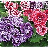 Gloxinia * Brocade Series Mix * Sinningia Speciosa * 8 WKS of Color!* Seeds New!
