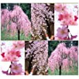 5 JAPANESE Weeping Cherry Tree Seeds A++ SPECIMEN ~ Prunus subhirtella pendula