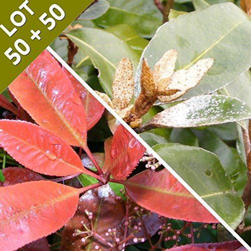 haie-en-kit-de-50-photinia-fraseri-red-robin-et-50-eleagnus-ebbingei-lot-de