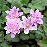 Miniature Fairy Garden Erodium x variabile, Flora Plena, Heron's Bill