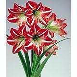 Amaryllis ~ Set of 2 ~ Brazilian Samba ~ Red & White Flowers ~ It's An Amaryllis!