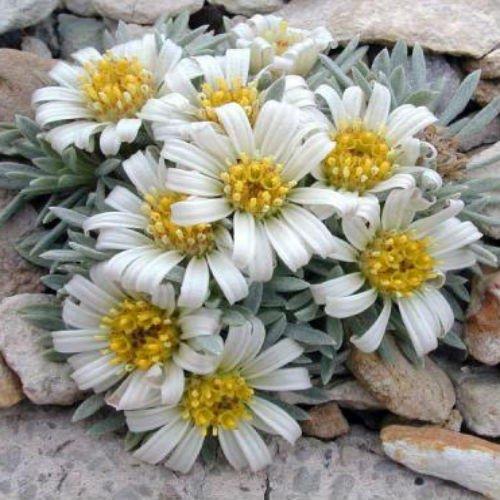 townsendia-mensana-seeds