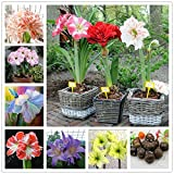 New Arrival!!! True amaryllis bulbs,hippeastrum flowers,hippeastrum bulbs,bonsai flower bulbs,Barbados Lily potted home garden plant -2 bulb -- Arcis New (Color: multi-colored)