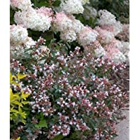Ruby Anniversary TM Abelia - Fragrant and Hardy - Proven Winners - 4