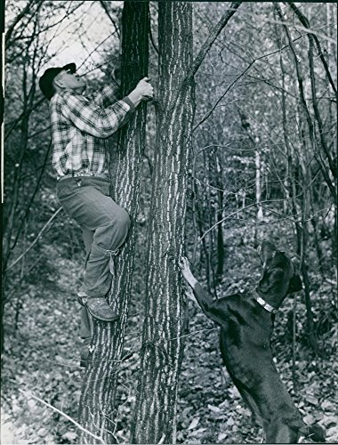 Vintage photo of Man climbing over the tree, and dog looking for raccoon, 1967.