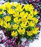 BALDUR-Garten Winterlinge-Sparangebot, 50 Zwiebeln Eranthis hyemalis, Winterling