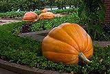 Pumpkin Dills Atlantic Giant 15 Seeds