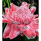 5pcs Pink Etlingera elatior Torch Ginger Seeds Flowering Tropical Flower Perennial