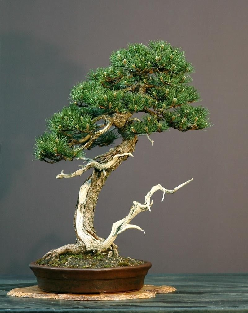 redwood bonsai tree rare and true dawn redwood trees. Black Bedroom Furniture Sets. Home Design Ideas