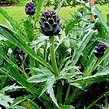 【PLANT】Heirloom Artichoke Violette de Provence エアルーム・アーチチョーク(アーティチョーク)・バイオレット・デ・プロバンス(2苗)*2017年農場新設の為の在庫処分セール・苗商品のみ(種子商品や送料含まず)合計¥1,080以上でご注文下さい。