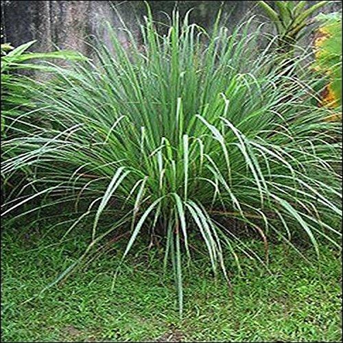 tropica-plantas-lemon-grass-cymbopogon-flexosus-100-semillas