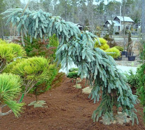 Weeping Colorado Blue Spruce the Blues 2 - Year Graft