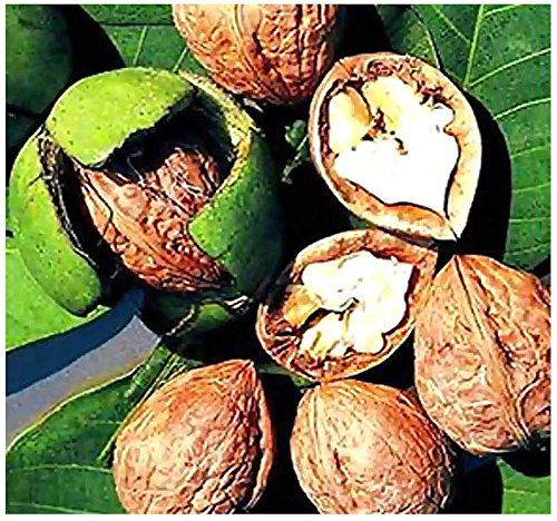 10-x-english-walnut-juglans-regia-tree-seeds-excellent-shade-tree-with-edible-rich-flavored-nuts-by-