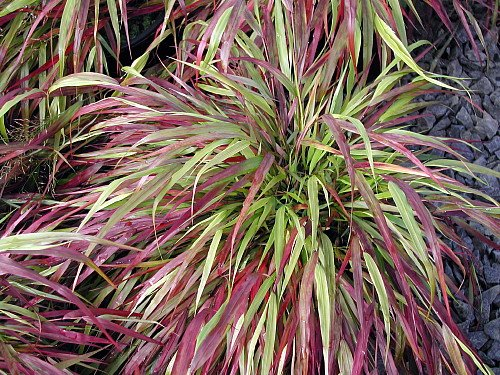 Beni-kaze Japanese Forest Grass-Hakonechloa-Shade Lover