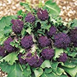 Suttons Seeds 152796 Broccoli Sprouting Summer Purple Seed