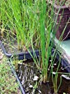 Chinese Water Chestnut Plant  Eleocharis dulcis  Grow Indoors