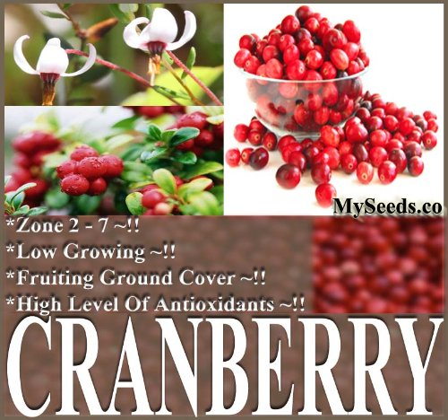500 American Cranberry, Vaccinium macrocarpon, Seeds LOW GROWING FRUITS EXCELLENT GROUND COVERS