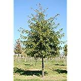 1 Pin Oak Tree-(quercus palustris)