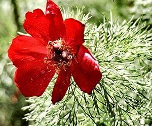 Fern Leaf Peony 5 Seeds - Paeonia tenufolia