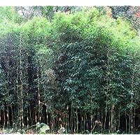 'Giant' Bamboo - Chusquea gigantea - 4