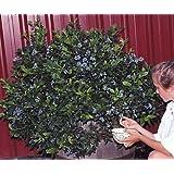 "Northsky Dwarf Blueberry Plant - 1 to 2 lbs. per Bush - 2.5"" Pot"