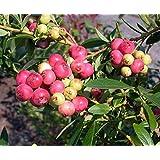 Pink Lemonade Blueberry Plant - Quart Pot