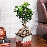 Exotic Green Ficus 3 Year Old Bonsai Plant English Purple Pot