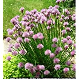 Chives - Allium schoenoprasum - 100 seedsby Haddons