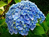 Amazon / Hirt's Gardens: Nikko Blue Hydrangea macrophylla - Bigleaf - A Top Seller - 4 Pot