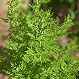 Chinese Wormwood Seeds (Artemisia annua) 30+ Medicinal Herb Seeds + FREE Bonus 6 Variety Seed Pack - a $29.95 Value! Packed in FROZEN SEED CAPSULES for Growing Seeds Now or Saving Seeds for Years