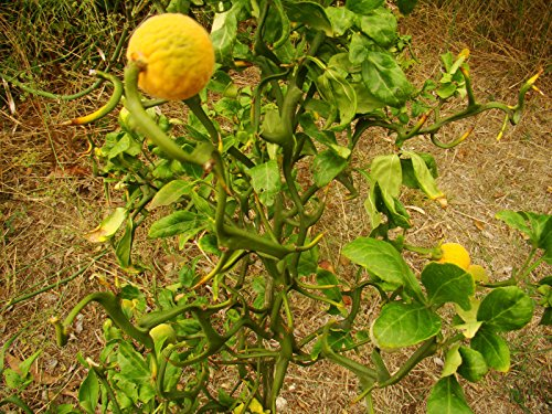 1 Seedling Of Rarely Offered Contorted Hardy Lemon Or Japanese Bitter Orange Poncirus Trifoliata Flying Dragon Japanese Exotic Shrub Plant With Twisted Branches