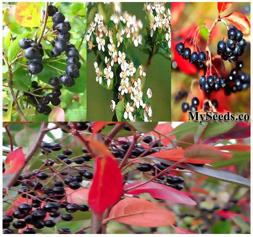 20 X Black Chokeberry - Aronia Melanocarpa Seeds - Crimson Leaves - High Vitamin C - Zones 3 - 8 - By Myseeds.Co