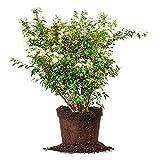BRIDAL WREATH SPIREA - Size: 1 Gallon, live plant, includes special blend fertilizer & planting guide