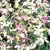 Suttons Seeds 143739 Night Scented Stock Evening Fragrance Seed