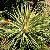 Yucca filamentosa Bright Edge - 2 plants