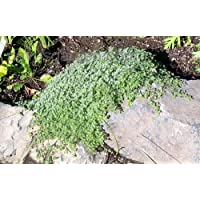 Wooly Thyme Plant - Great Groundcover Plant - Hardy - 3