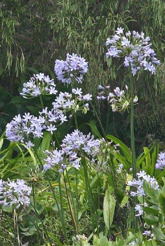 agapanthus-praecox-ssp-minimus-dwarf-agapanthus-nile-lily-seeds