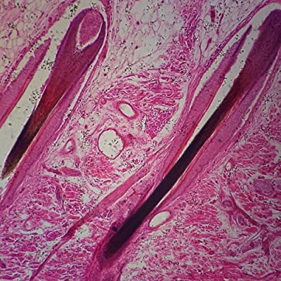 Microscope Slides :: Human Mammary Gland Resting Microscope Slide by Carolina Biological Supply Company