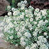 Suttons Seeds 101032 Alyssum Perfume Petals Seed