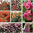 (Climbing MIX D*Ambizu*) New 150 Seeds / Pack, Rare Pink Orange Red Purple Yellow Climbing Rose Seeds, Hardy Climbing Flowers