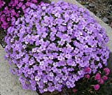 AUBRETIA GRACILLIS - ROCK CRESS - ROYAL BLUE - 0.15 GRAM ~ APPROX 400 SEEDS