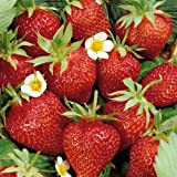 Strawberry fragaria Ostara - 3 plants