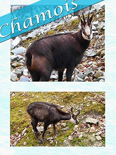 Clip: Chamois
