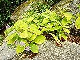 【1年間枯れ保証】【春に花が咲く木】タマアジサイ 0.3m15cmポット